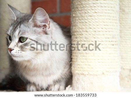 silver cat of siberian breed on the scratching post