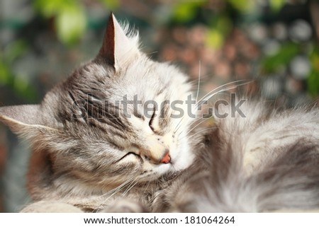 silver cat, siberian breed