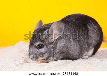 Silver Chinchilla bathing in white sand on yellow background