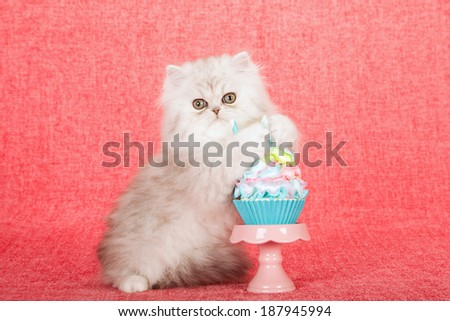 Silver Chinchilla kitten hugging  holding cupcake on cupcake stand on bright pink background  - stock photo