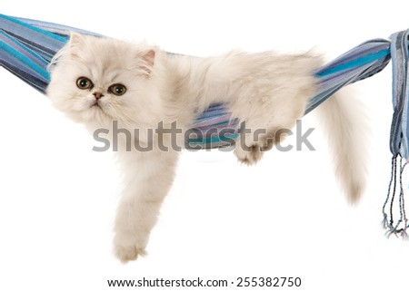 Silver Chinchilla kitten lying inside blue cloth hammock on white background