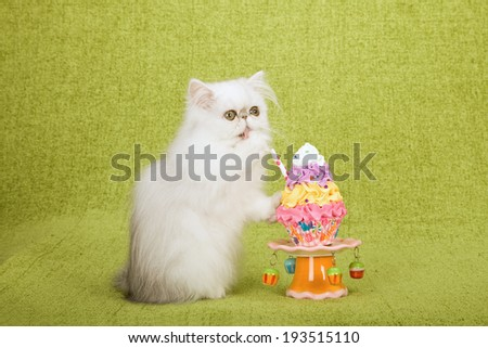 Silver Chinchilla kitten posing with fake faux cupcake on cupcake stand on lime green background  - stock photo