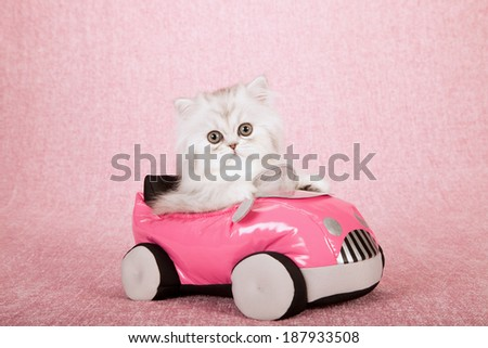 Silver Chinchilla kitten sitting inside pink toy car on pink background  - stock photo