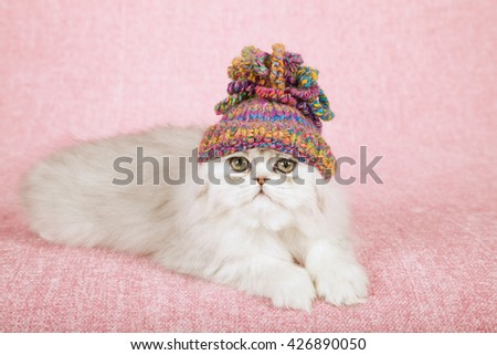 Silver Chinchilla kitten wearing a crochet cap hat lying on light pink background cloth