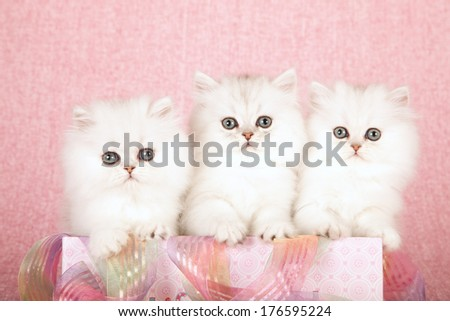 Silver Chinchilla kittens sitting inside pink gift box with ribbon against pink background - stock photo