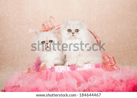 Silver Chinchilla kittens sitting inside tulle tutu basket with ribbons and bows on beige background