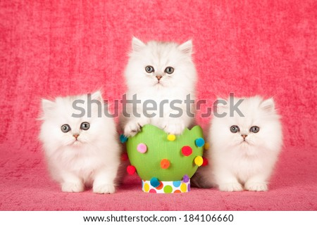 Silver Chinchilla kittens with large green Easter egg with colorful pom poms on bright pink background  - stock photo