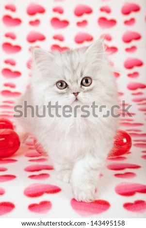 Silver Chinchilla Persian kitten on heart printed background with red plastic hearts - stock photo