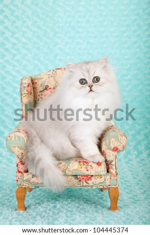 Silver Chinchilla Persian kitten on miniature chair on blue green aqua background - stock photo