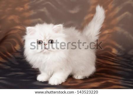 Silver Chinchilla/Persian kitten on swirled brown background - stock photo