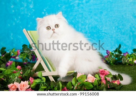 Silver Chinchilla Persian kitten sitting on miniature deckchair in fake garden - stock photo