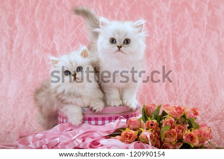 Silver Chinchilla Persian kittens with faux fake flowers on pink background - stock photo