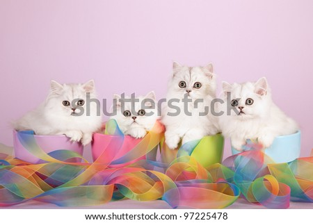 Silver Chinchilla Persian kittens with tie dye ribbons on lilac background