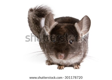 Silver Chinchilla sitting on isolated white background - stock photo