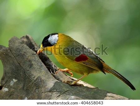 Silver-eared Mesia (Leiothrix argentauris) the beautiful yellow bird and silver on its ears standing on the log looking for meals