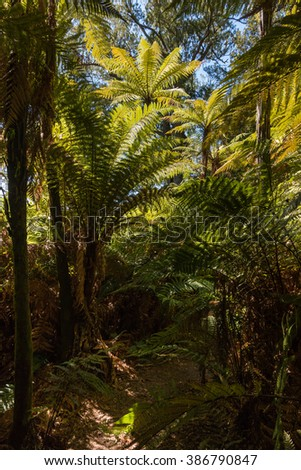 silver fern trees growing in rainforest