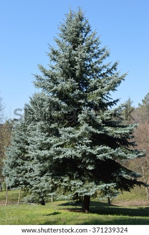 Silver Fir Tree Stock Images Royalty Free Images