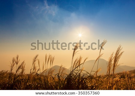 silver grass with blue sky - stock photo
