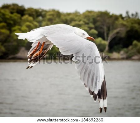 Silver Gull (Chroicocephalus novaehollandiae) flying over river in front of mangroves - stock photo