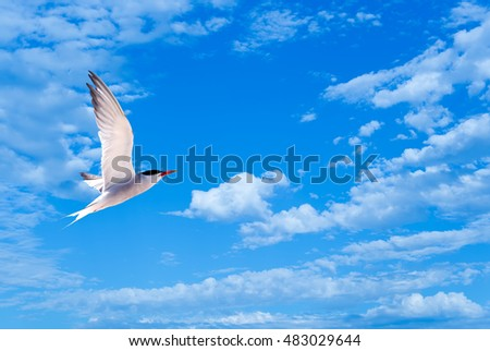 Silver Gull in Flight over bright sky background