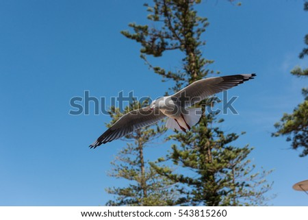 Silver Gull (Seagull) flying over Manly beach in Sydney, Australia