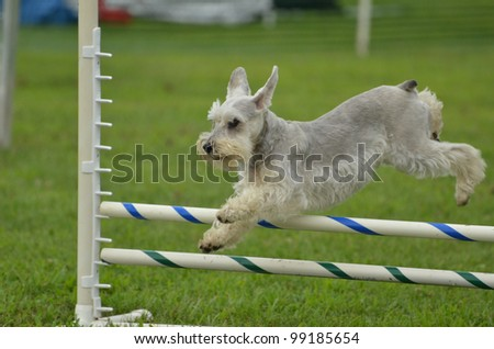 Silver Miniature Schnauzer Leaping Over a Jump at a Dog Agility Trial