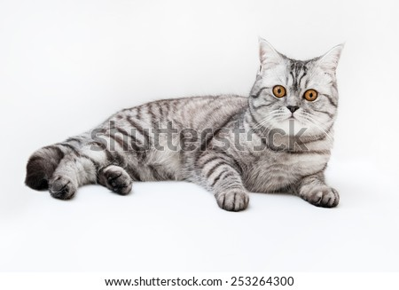 Silver scottish straigh cat on the white background. - stock photo