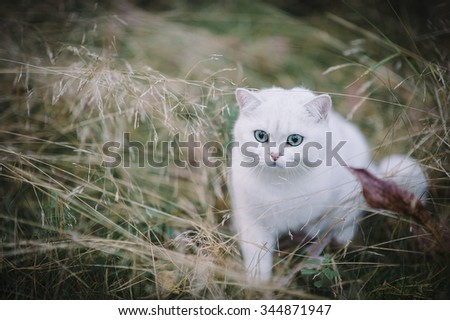 silver shaded british short hair cat in the autumn forest