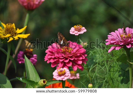 Silver Spotted Skipper Butterfly with flowers