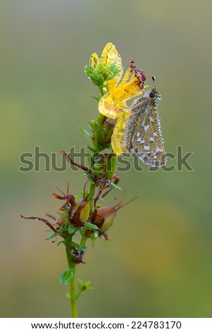 Silver-spotted Skipper,Hesperia comma - stock photo