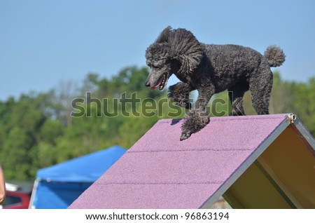 Silver Standard Poodle Climbing an A-frame at a Dog Agility Trial - stock photo