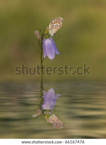 Silver Studded Blue Butterfly on purple flower Harebell(Campanula rotundifolia) with a reflection