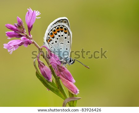 Silver studded Blue Butterfly (Plebejus argus/Plebeius argus) resting on a great purple flower with a great background