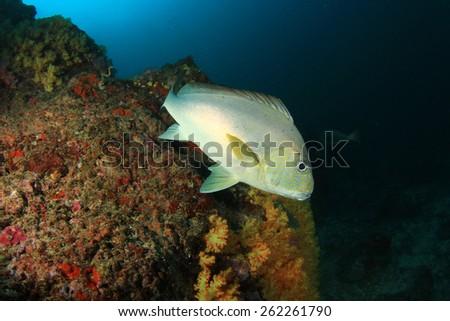 Silver Sweetlips fish - stock photo