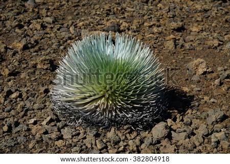 Silver Sword plant, Haleakala Volcano, Maui, Hawaii - stock photo