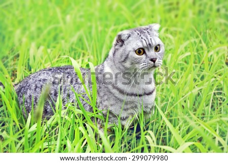Silver tabby Breed Scottish Fold Cat on green grass in summer - stock photo