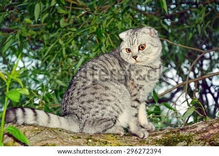 Silver tabby Breed Scottish Fold Cat sitting in a tree - stock photo