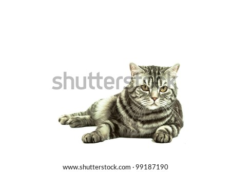 Silver tabby british cat playing isolated in the white background