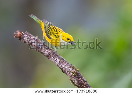 Silver-throated Tanager - stock photo