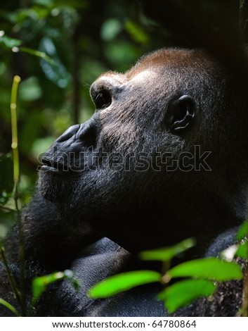 Silverback -  adult male of a gorilla.Western Lowland Gorilla. - stock photo