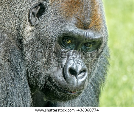 Silverback gorilla close up looking at camera