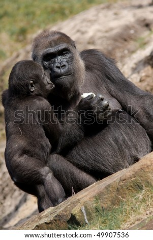 Silverback Gorilla Mother and child - stock photo