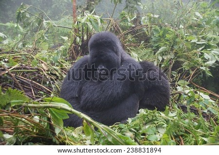 Silverback gorilla sitting in bush at Volcanoes National Park, Rwanda - stock photo
