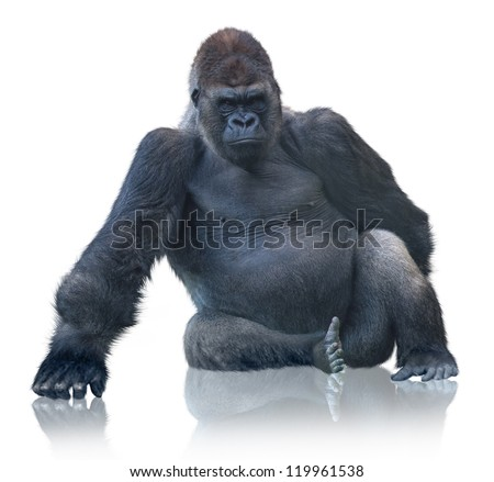 Silverback Gorilla Sitting Isolated On White Background - stock photo