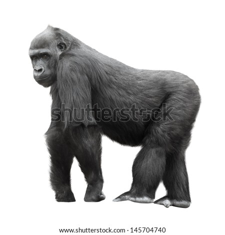 Silverback gorilla standing on a lookout isolated on white background - stock photo