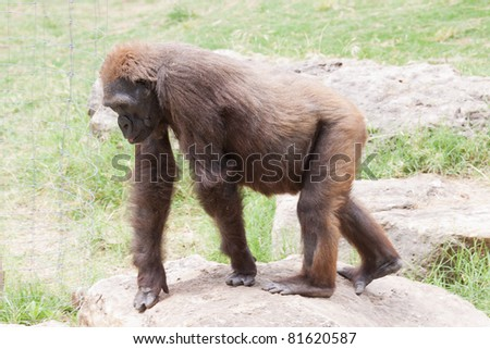 Silverback male lowland gorilla from Central Africa - stock photo