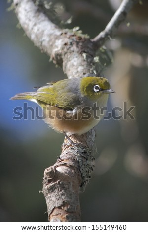 Silvereye (Zosterops lateralis) sitting on a Branch looking right on a sunny day