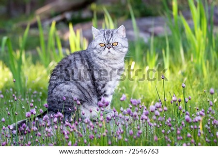 Silverspotted Exotic Shorthair cat sitting among blooming wild chives - stock photo