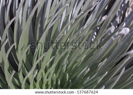Silversword Plant Closeup in Hawaii - stock photo