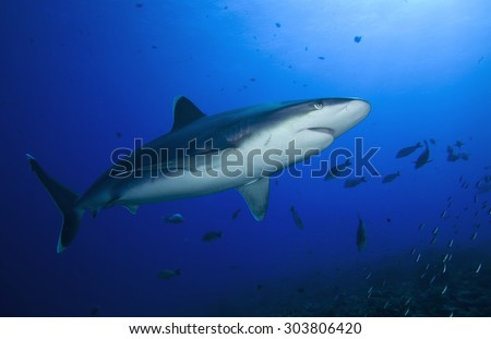 SILVERTIP SHARK SWIMMING IN THE BLUE CLEAR WATER OF PACIFIC OCEAN
